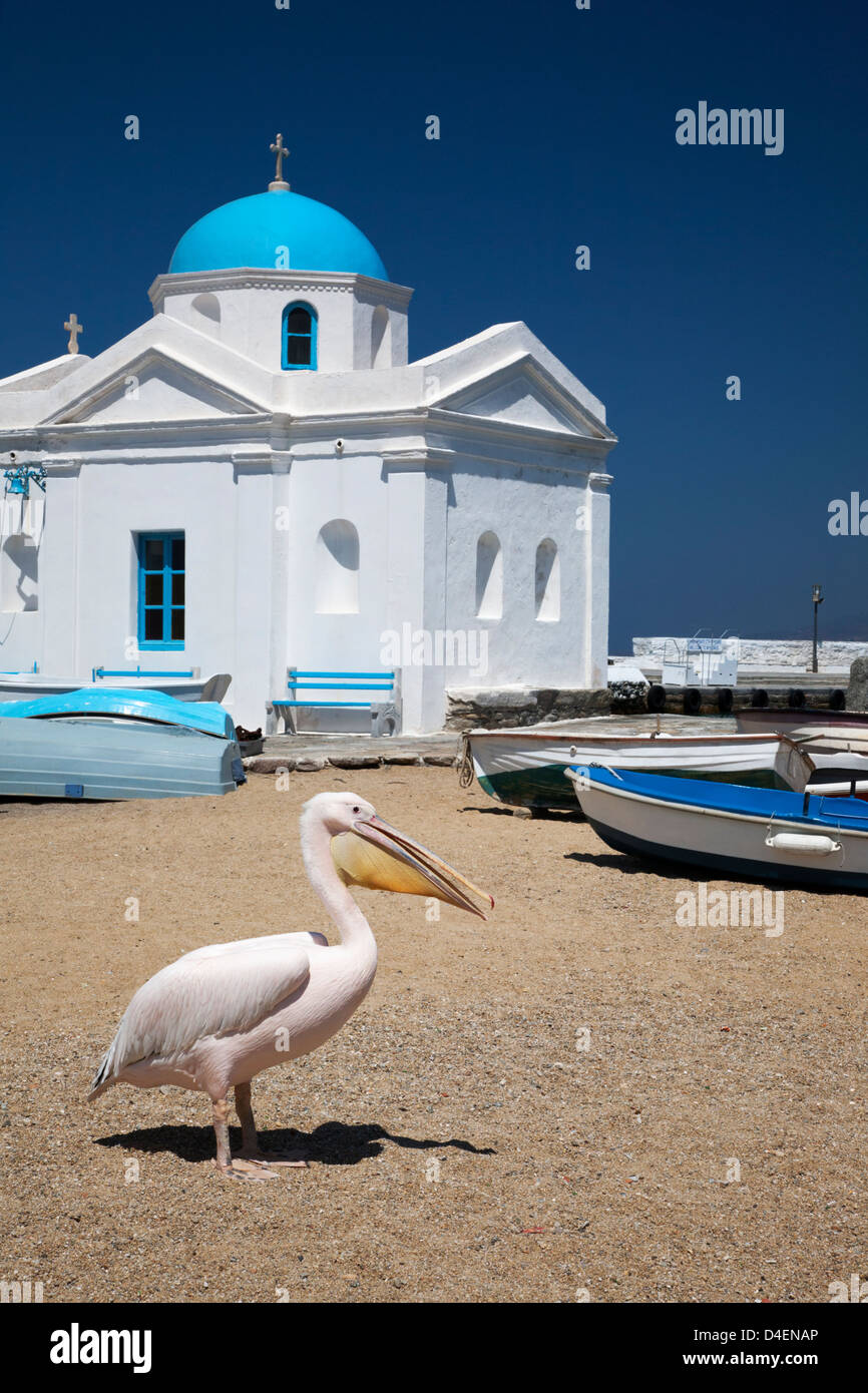 Petros a white Pelican (Pelecanus onocrotalus), the mascot of Mykonos, on the beach near Agios Nikolaos Church - Stock Image