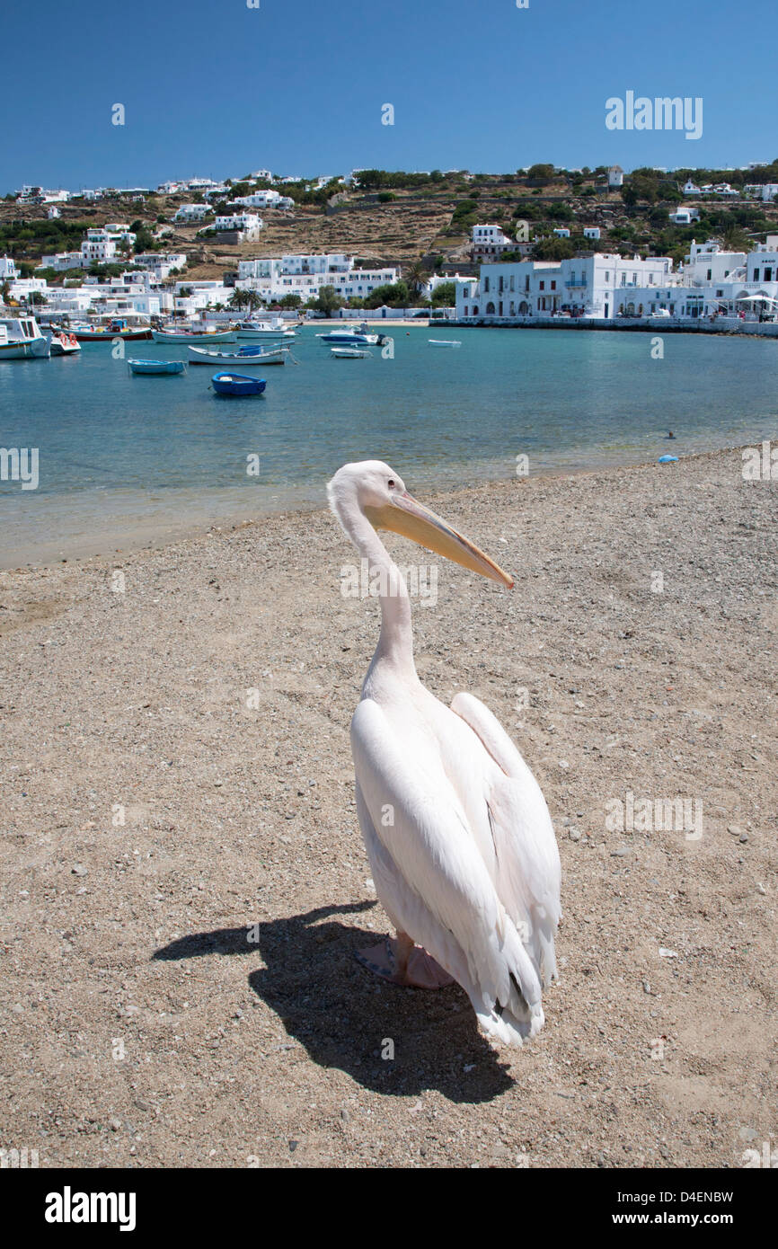 Petros a white Pelican (Pelecanus onocrotalus) who is the official mascot of Mykonos on the beach at Chora - Stock Image
