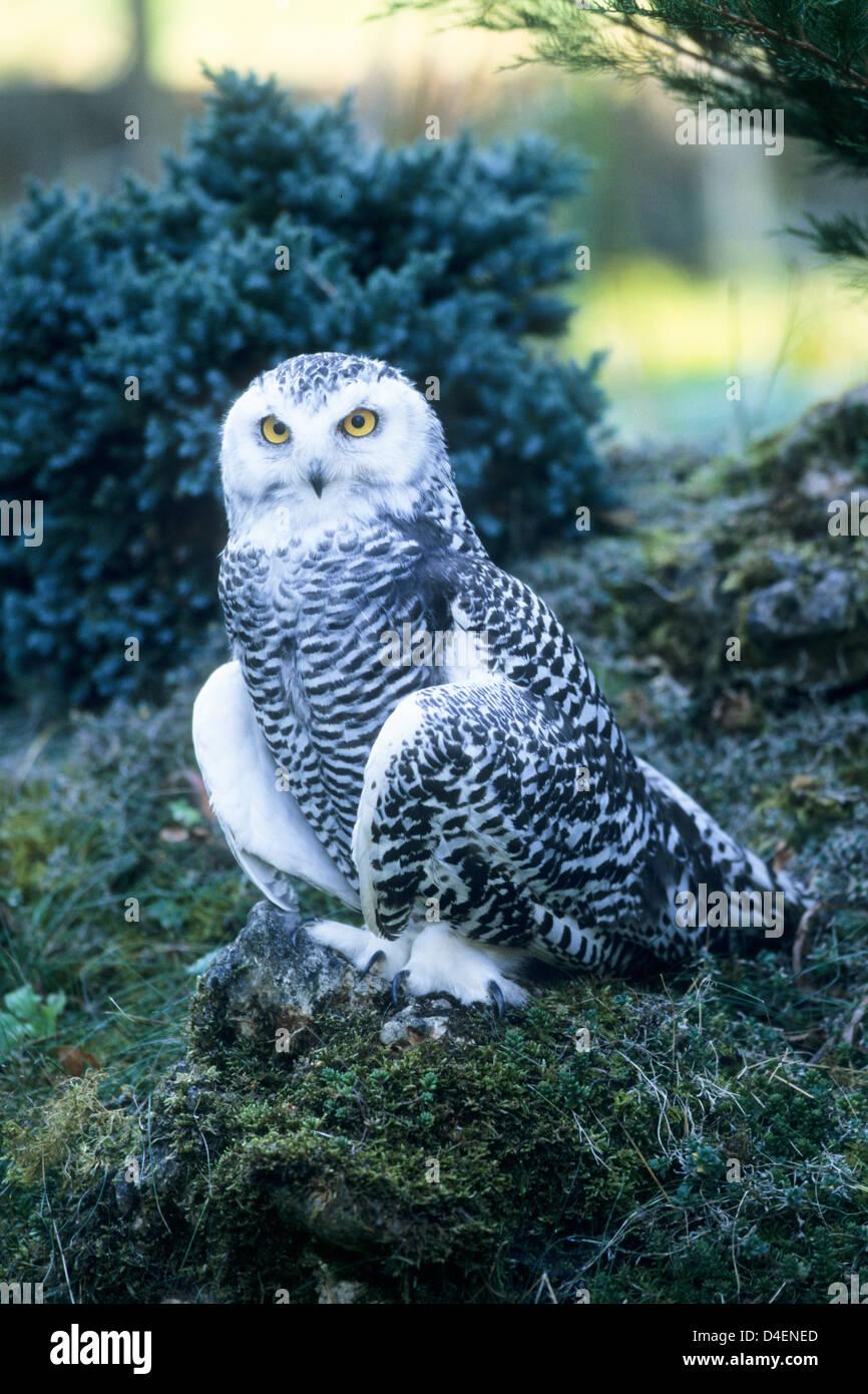 Schnee-Eule, Jungvogel (Nyctea scandiaca) Young Snowy Owl • Baden-Württemberg; Deutschland, Germany Stock Photo