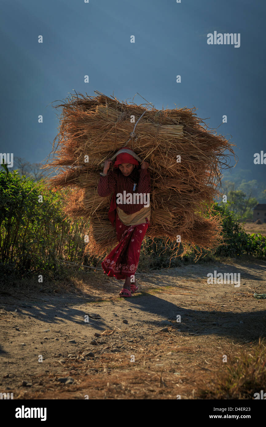Nepali farmer carrying wheat, Kathmandu Valley, Nepal, Asia - Stock Image
