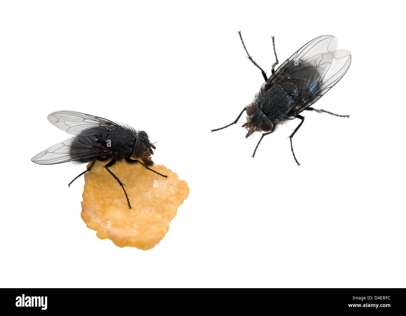 Flies isolated over white - one eating - Stock Image