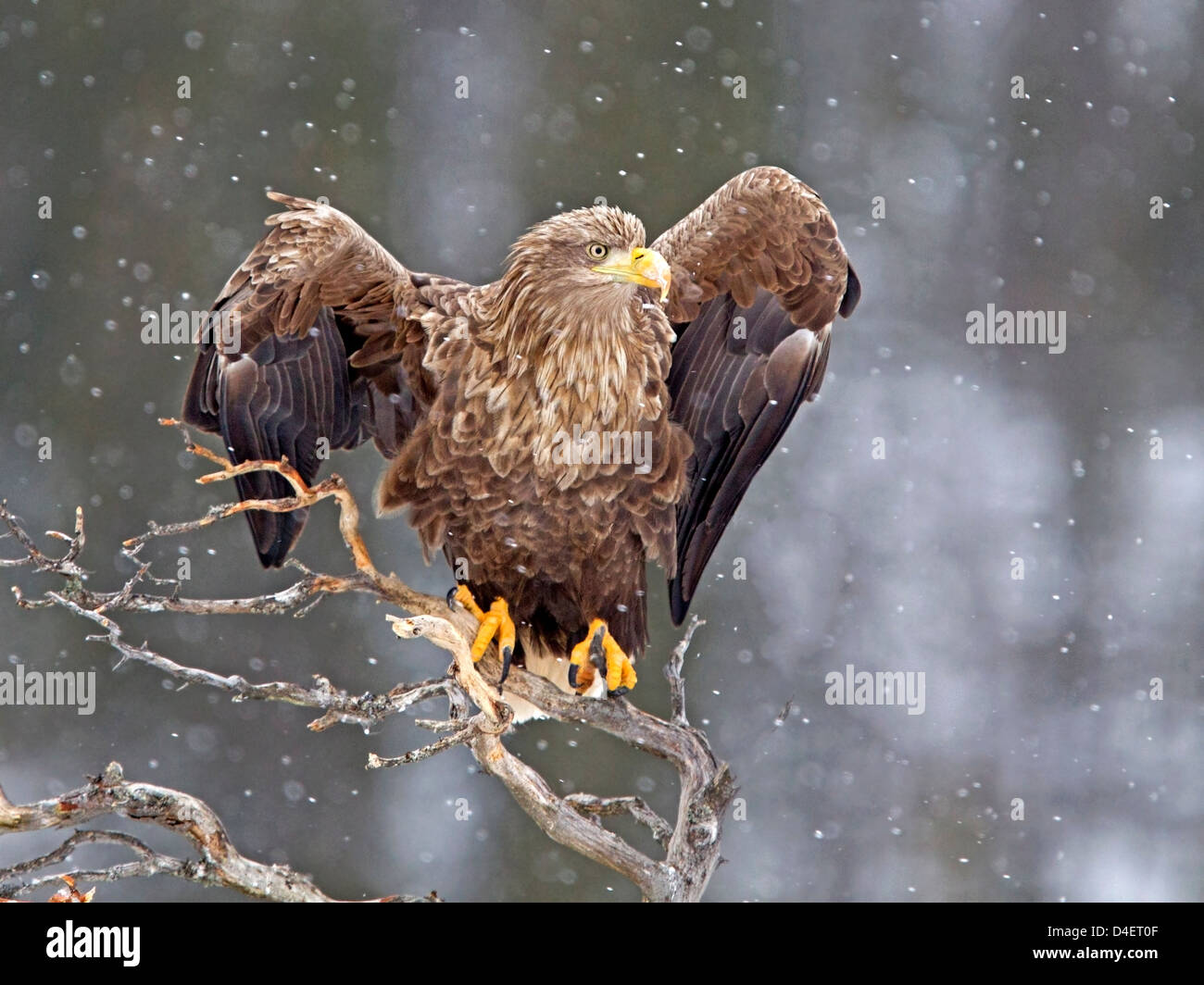 White-tailed sea eagle wings raised in snow storm - Stock Image