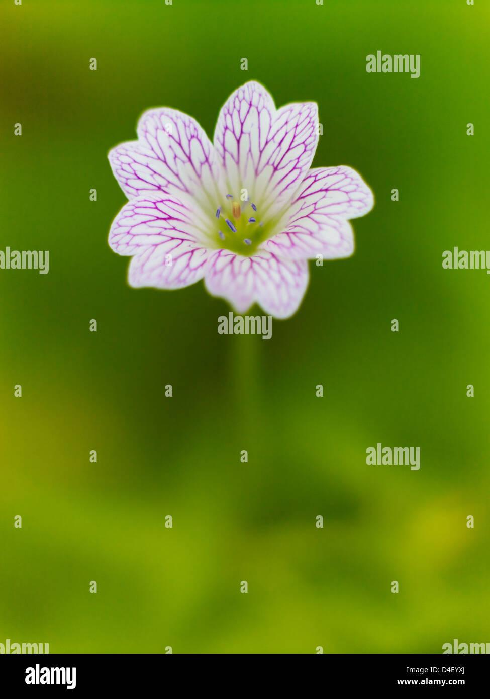 Close up of geranium flower Stock Photo