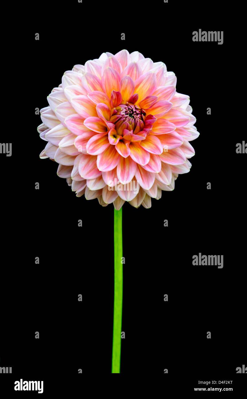 Black dahlia stock photos black dahlia stock images alamy beautiful flower on the black background stock image izmirmasajfo