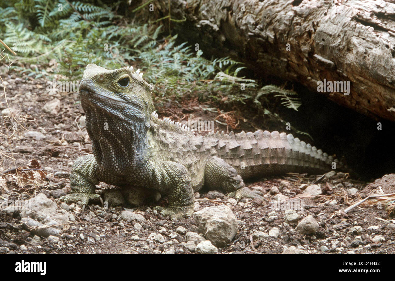 Dpa File The Picture Dated 16 January 2001 Sees Tuatara Henry In Invercargill New Zealand As Daily Southland Times Reports On 06