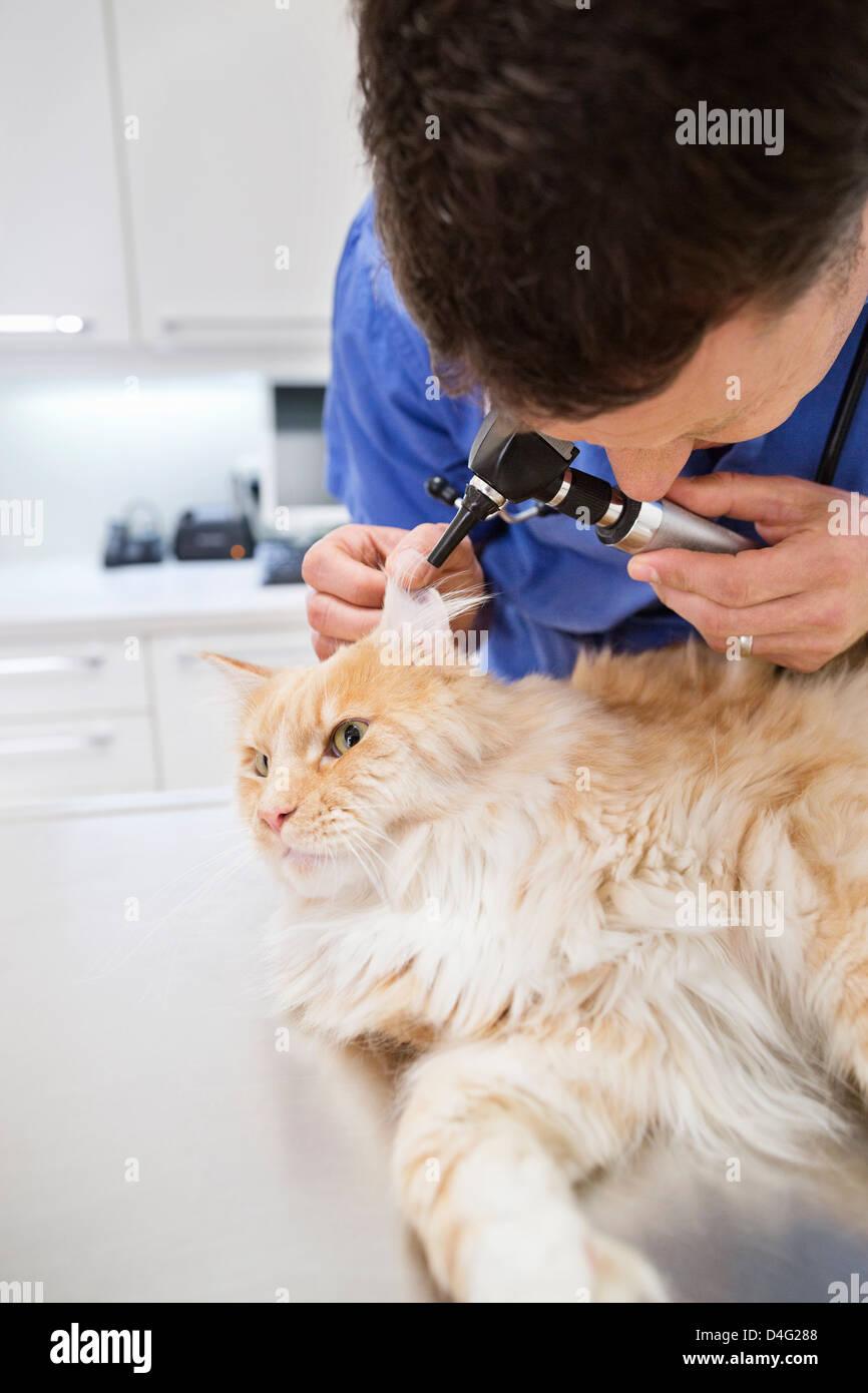Veterinarian examining cat in vet's surgery - Stock Image