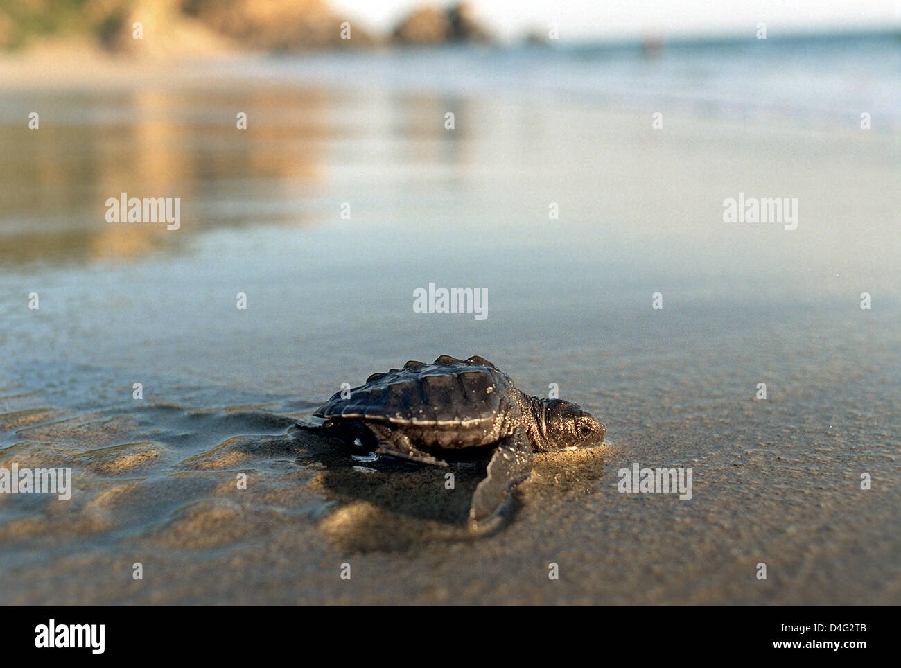 (dpa file)- Nearly done - A newly hatched small Pacific Ridley is on her way into the saving sea on the beach of - Stock Image