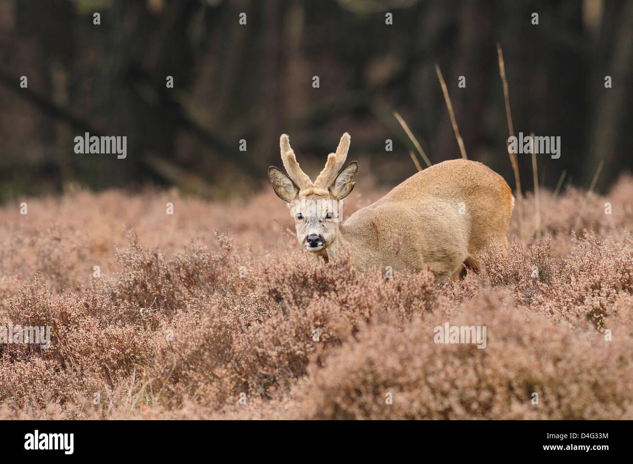 Roe deer buck in winter coat with velvet antlers Stock Photo