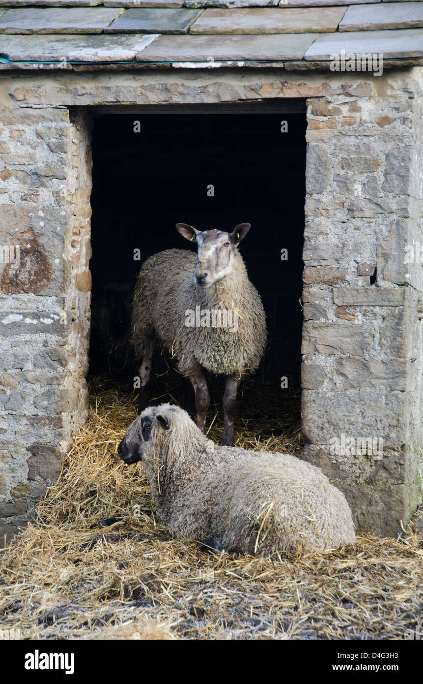 Two sheep in a small stone barn doorway - Stock Image