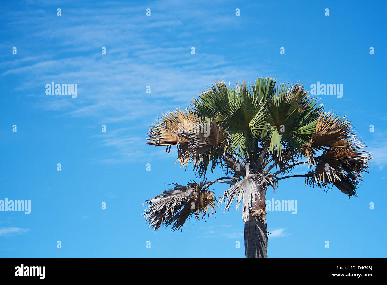 Palm tree Africa against blue sky - Stock Image