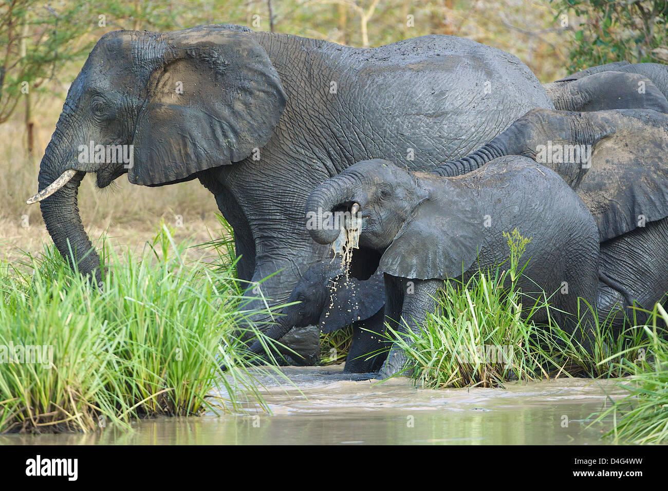 African elephants drinking Tanzanian Saadani National Park - Stock Image