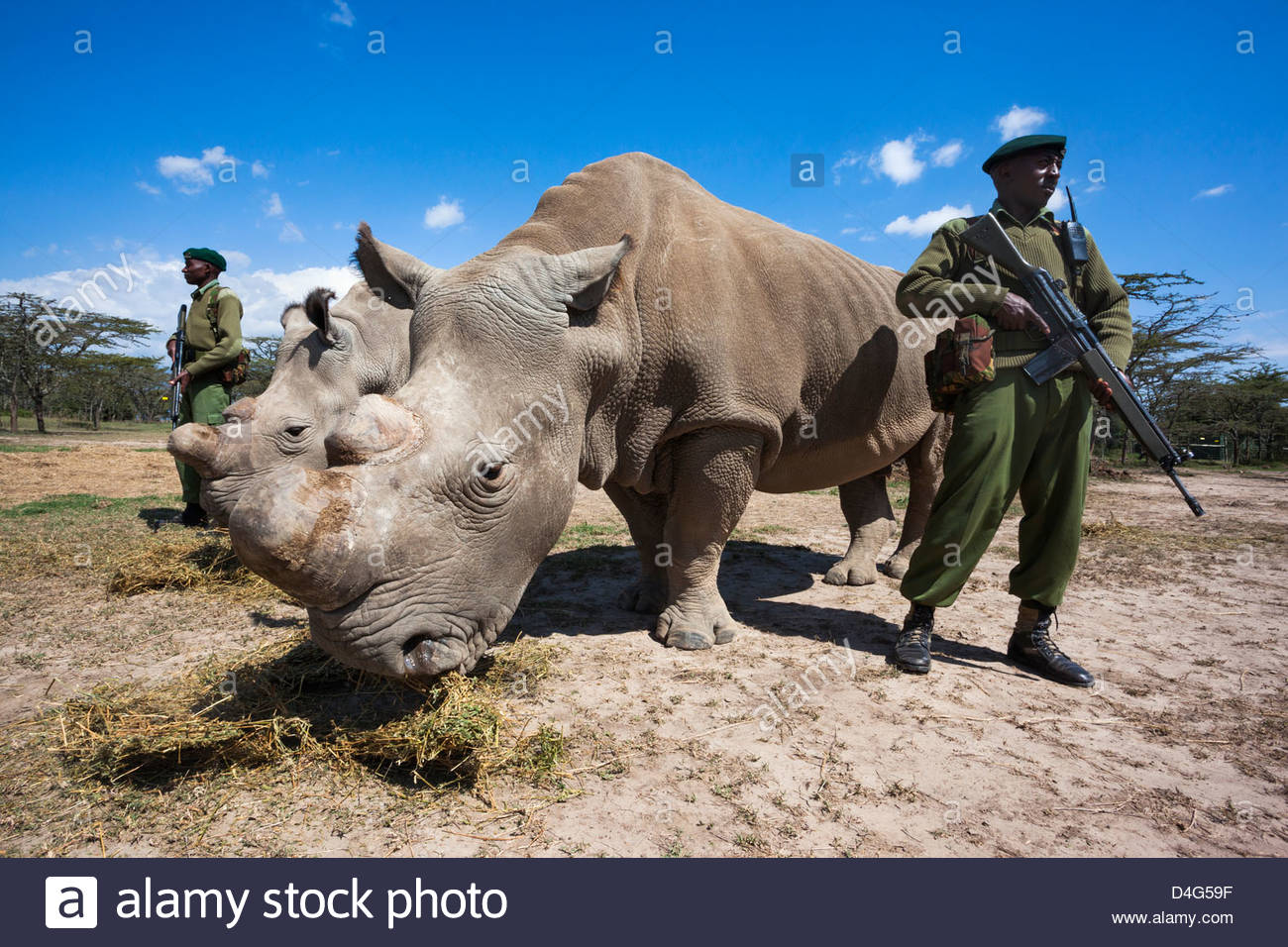 Northern white rhino (Ceratotherium simum cottoni) watched over by armed guard, Ol Pejeta Conservancy, Laikipia, Stock Photo