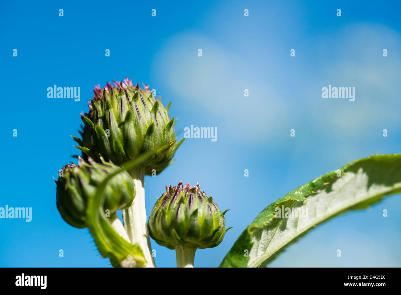 Three buds of the thistle Echinops against a blue sky - Stock Image