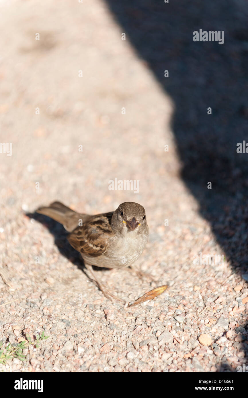 Sparrow sitting on the ground with its head tilted waiting for food - Stock Image