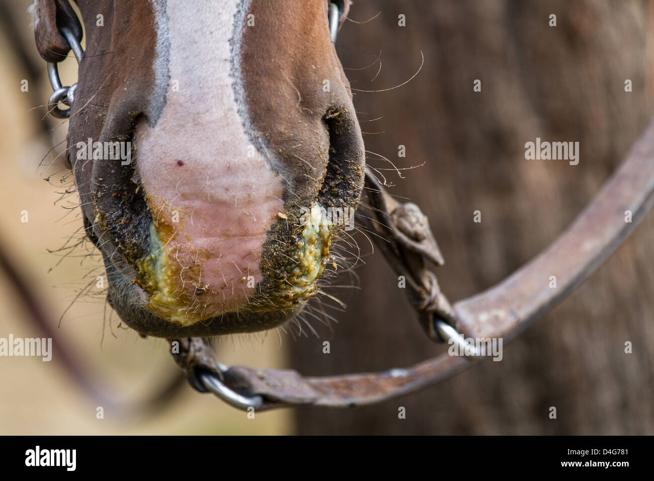 Close up of a horse sick with horse flu (Equine influenza) and a green runny nose snot, Patagonia, South America - Stock Image
