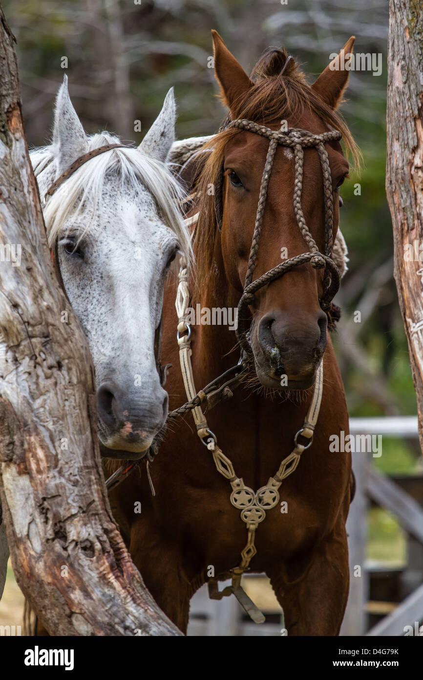 Beautiful Patagonian horses - Stock Image