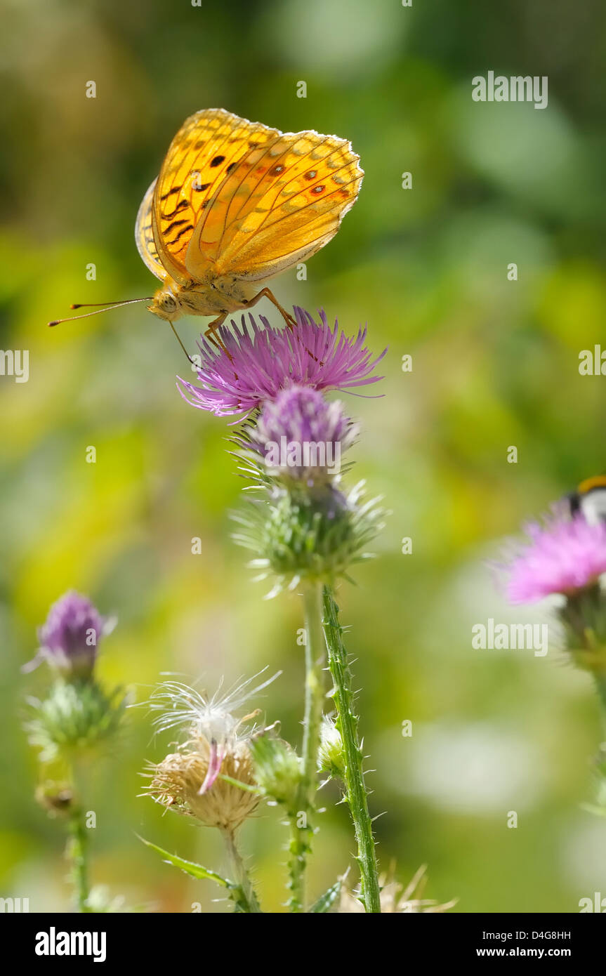 High Brown Fritillary on a flower - Stock Image
