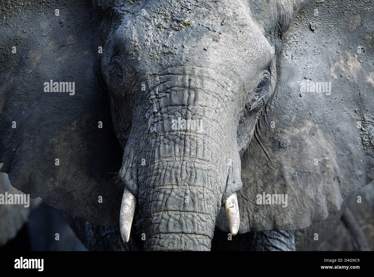 Close up of African elephant TANZANIA - Stock Image