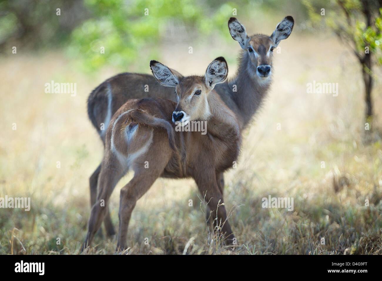 Young waterbuck  Kobus ellipsiprymnus  Saadani National Park Africa - Stock Image