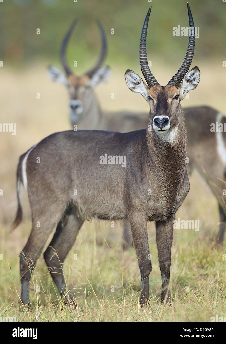 Male waterbuck  Kobus ellipsiprymnus  Saadani National Park  Tanzania Africa - Stock Image