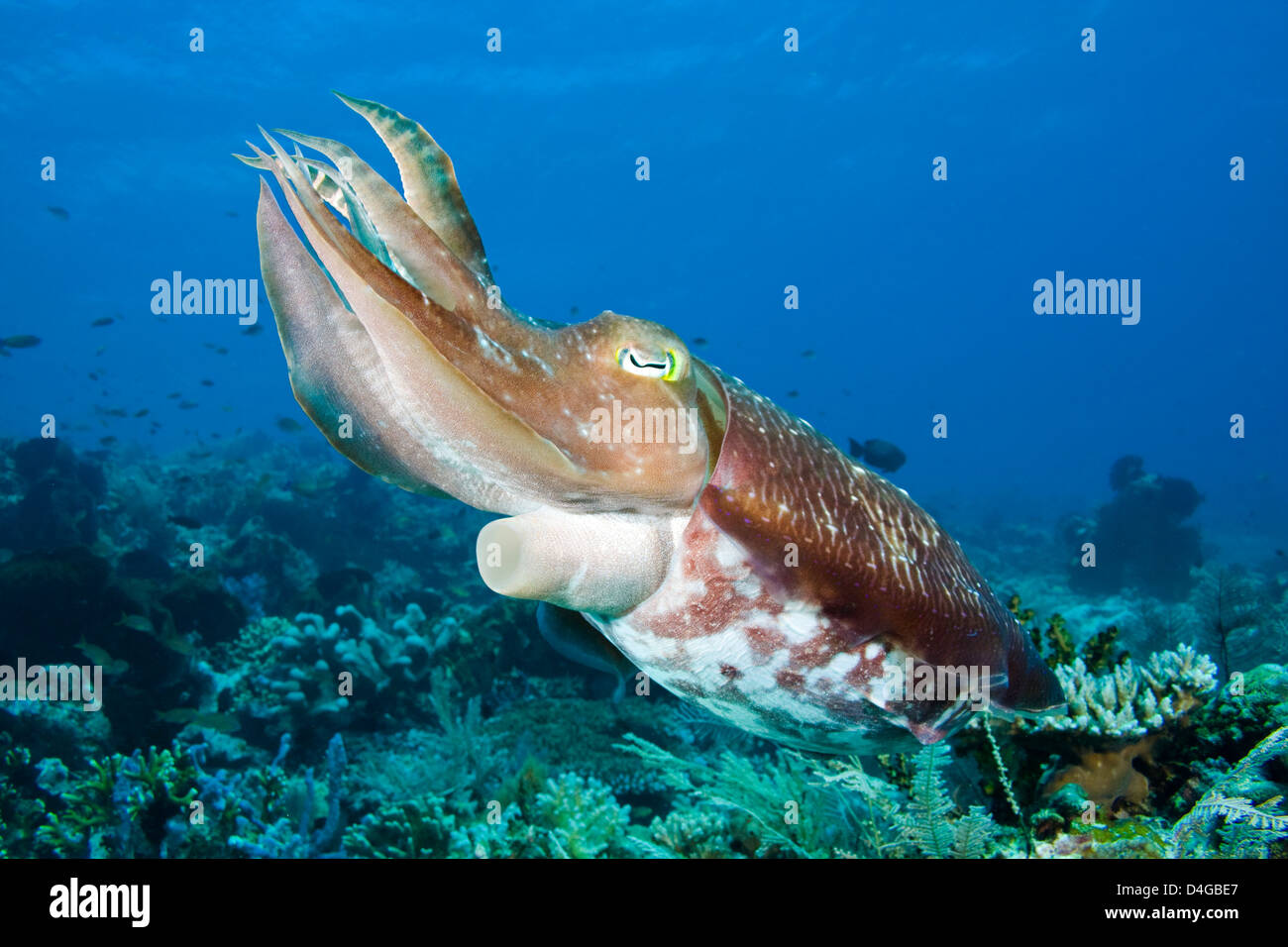 A broadclub cuttlefish, Sepia latimanus, Komodo, Indonesia. - Stock Image