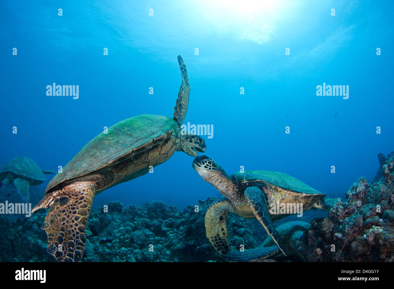 It appears that these two green sea turtles, Chelonia mydas, an endangered species, are having a disagreement Hawaii. - Stock Image