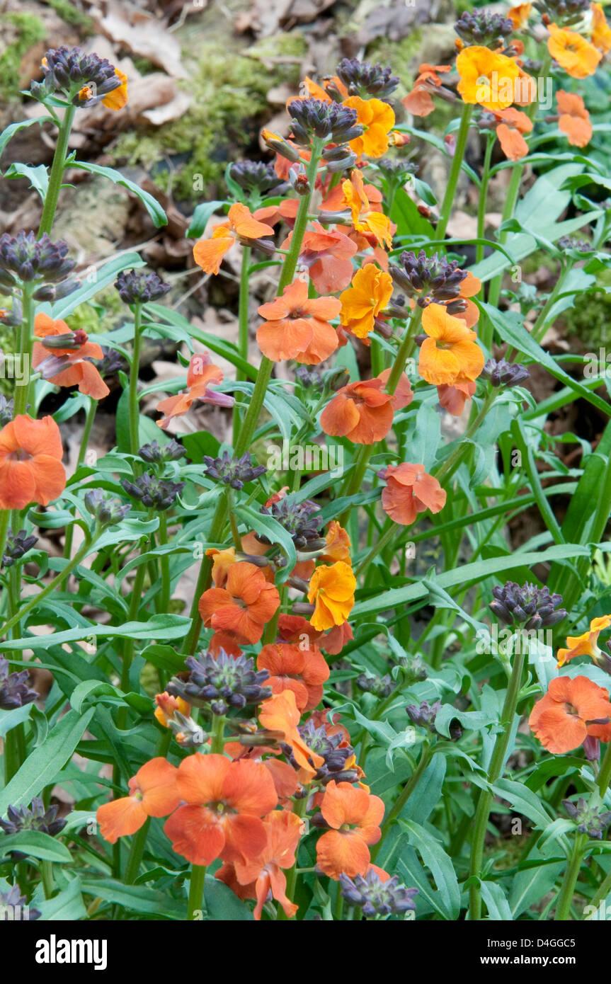Erysimum 'Apricot Twist'. - Stock Image