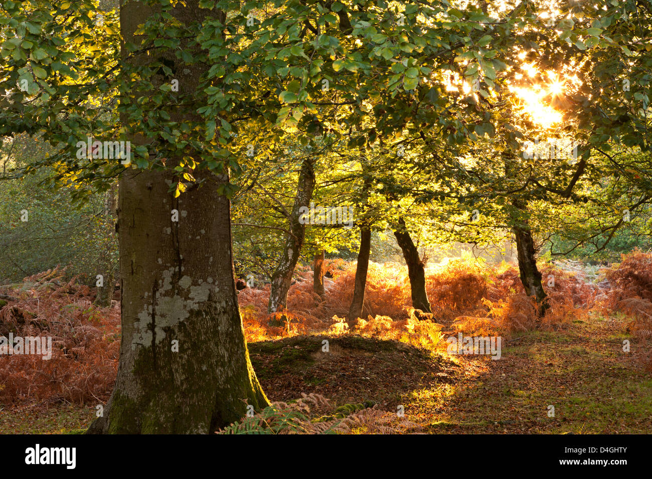 Early morning sunlight illuminates an autumnal deciduous woodland in the New Forest National Park, Hampshire, England. - Stock Image
