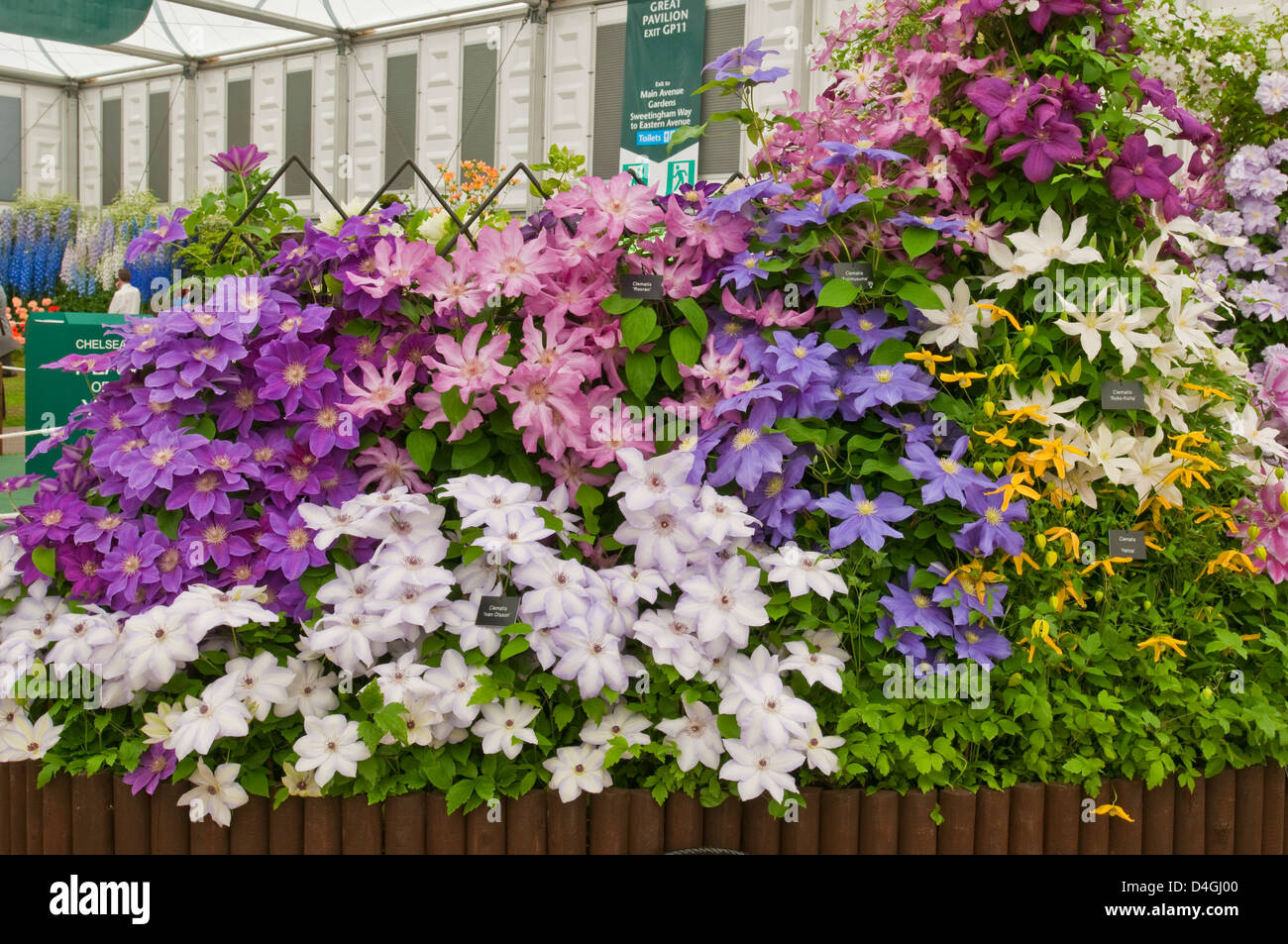 Clematis display by Thorncroft Clematis Nursery at Chelsea RHS show 2010. Gold Medal winner, please credit Thorncroft. - Stock Image