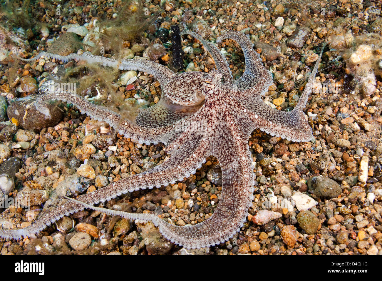 An undescribed species of long-armed octopus, Octopus sp, Anilao, Philippines. - Stock Image