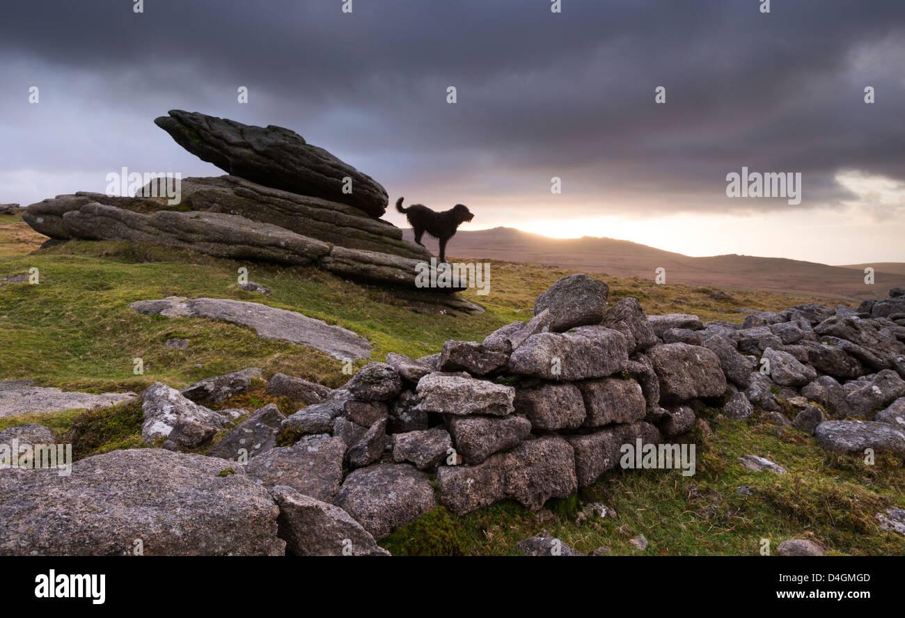 The Hound of the Baskervilles, roaming Belstone Tor on Dartmoor, Devon, England. Winter (February) 2012. - Stock Image