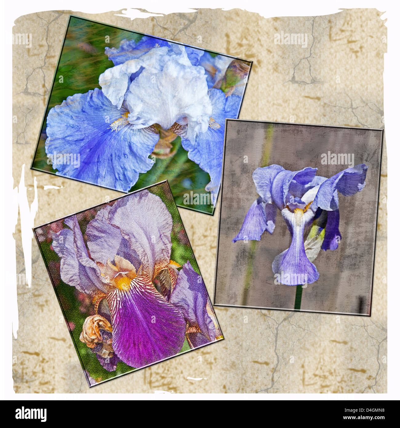 This is a collage of textured iris flowers bearded and japanese this is a collage of textured iris flowers bearded and japanese iris a set of 3 on an old parchment type background izmirmasajfo