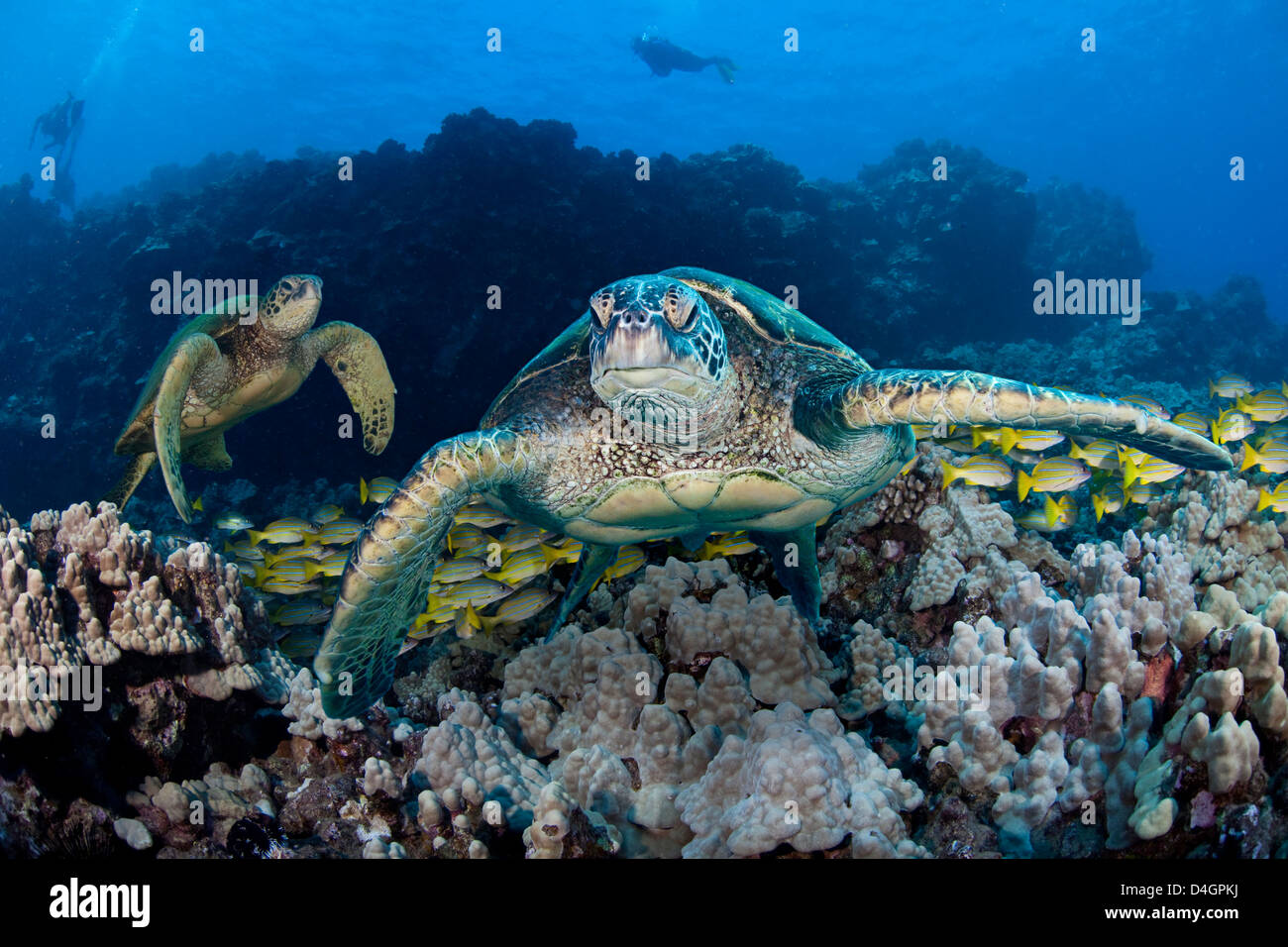 Three images were combined for this shot of green sea turtles, Chelonia mydas, an endangered species. Hawaii. - Stock Image