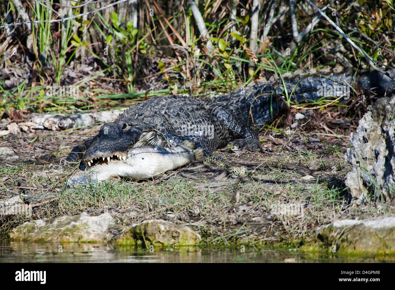 An American alligator, Alligator mississippiensis, holds a fish in it's jaws in Everglades National Park, Florida. - Stock Image