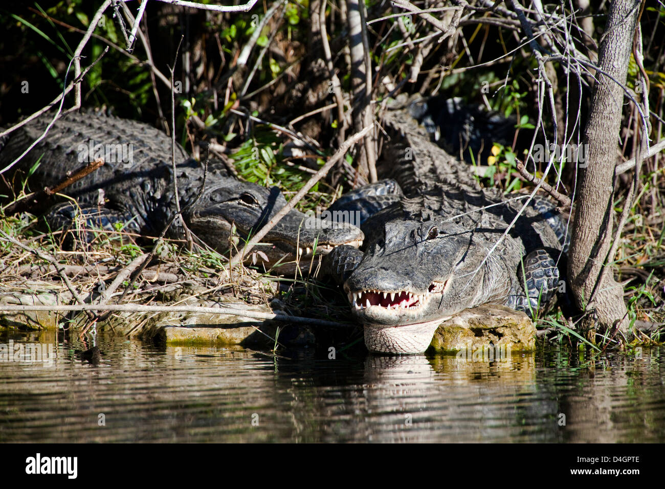 American alligators, Alligator mississippiensis, on a river bank in Everglades National Park, Florida. - Stock Image