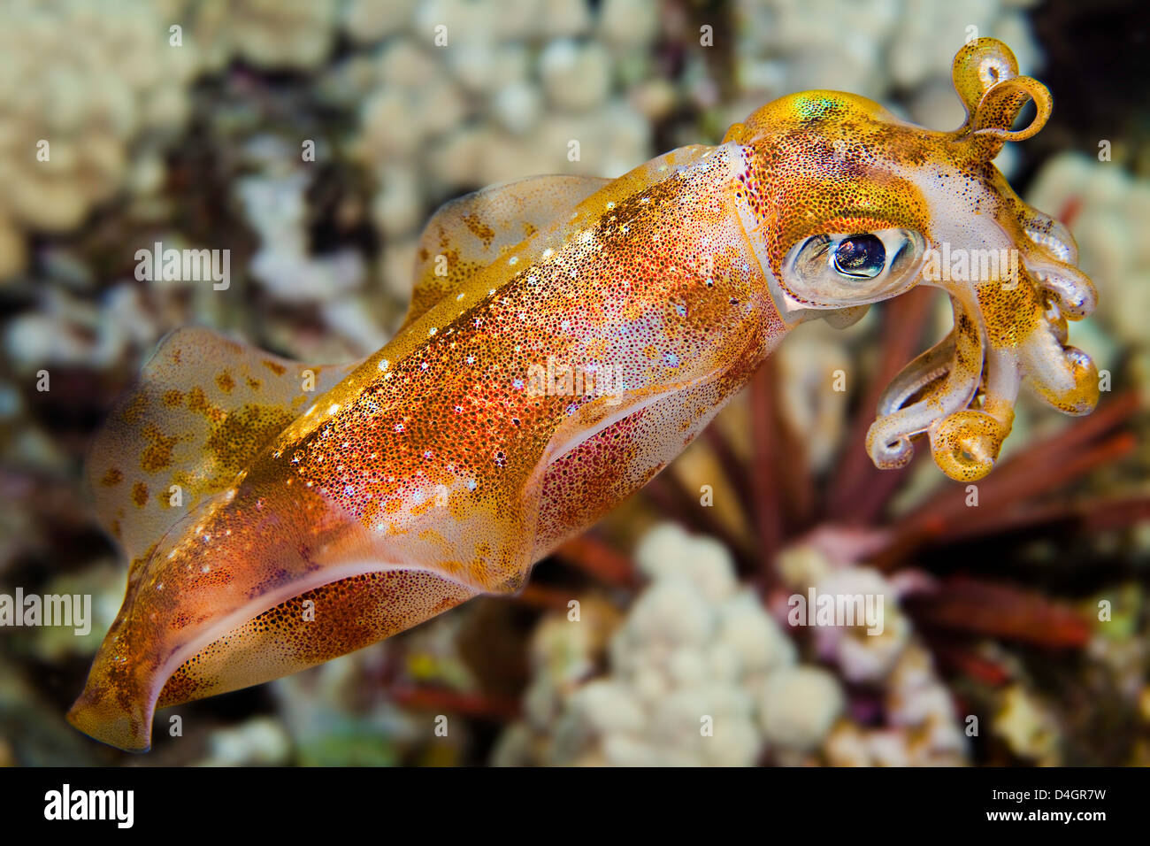 The male oval squid, Sepioteuthis lessoniana, can reach 14 inches in length. Hawaii. - Stock Image