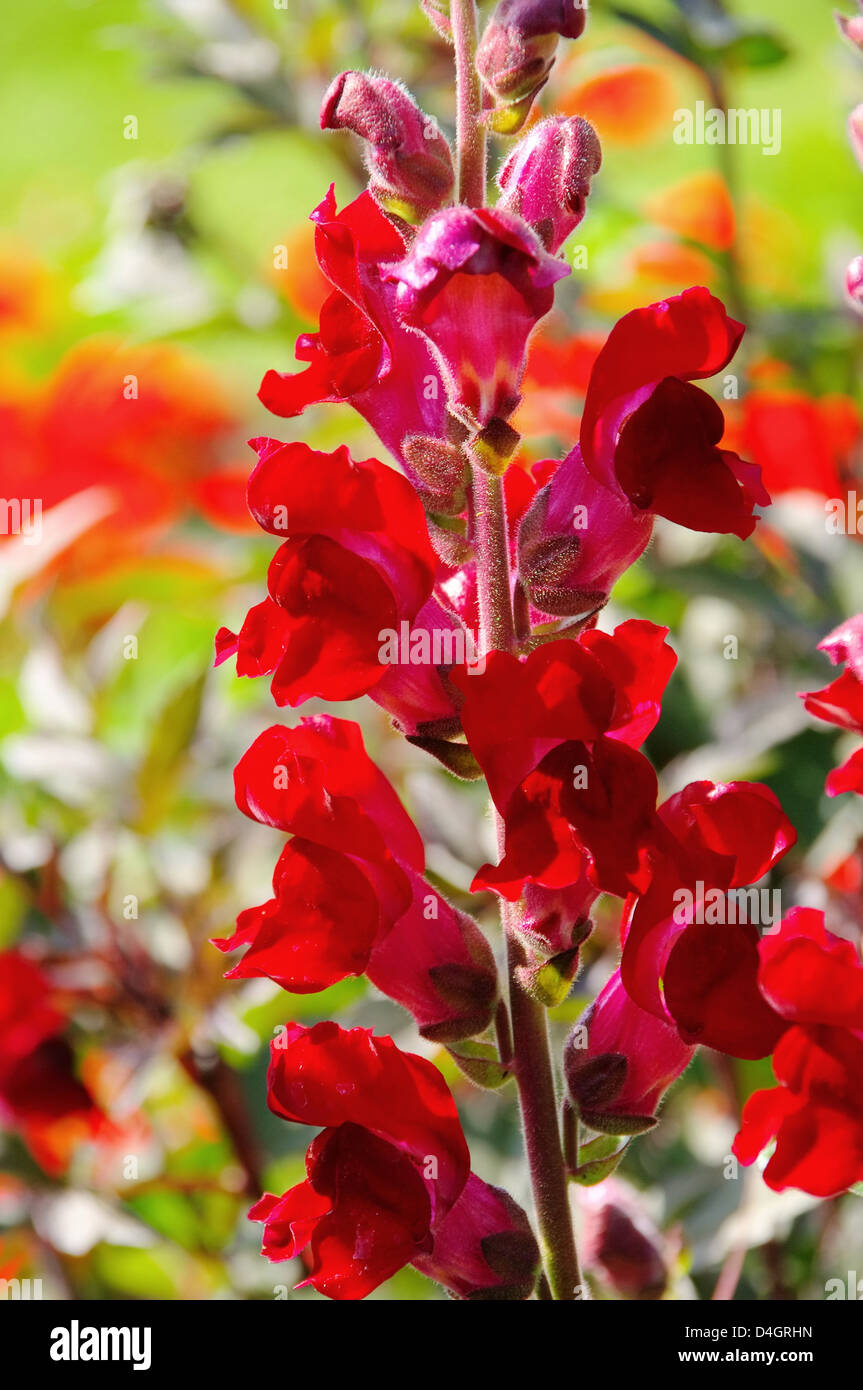 Loewenmaul rot - snapdragon red 01 Stock Photo