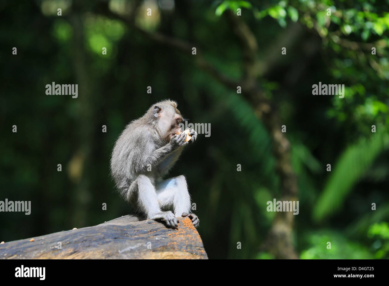 Crab-eating macaque eating a fruit in Ubud Monkey forest sanctuary in Bali, Indonesia - Stock Image