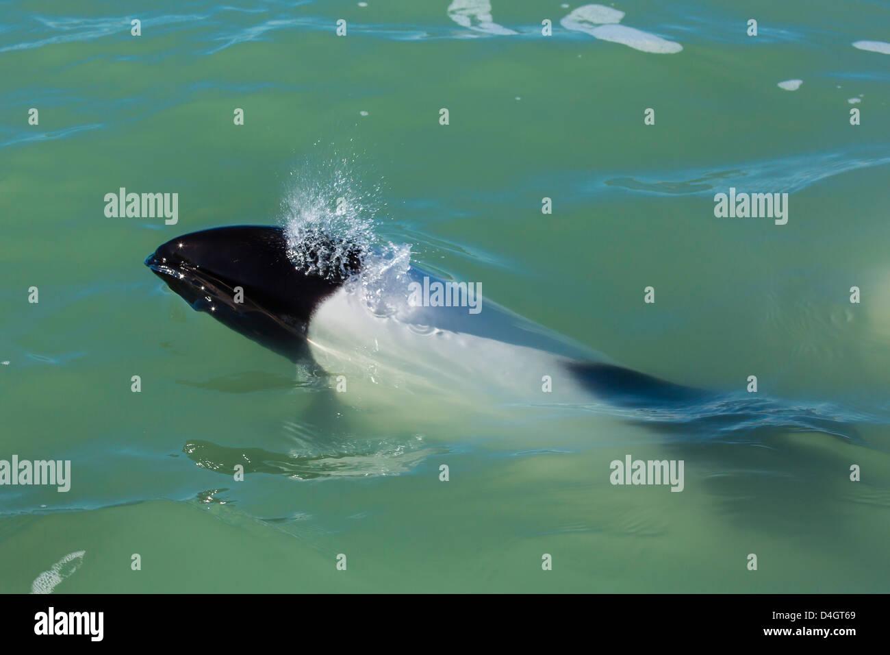 Adult Commerson's dolphin, Rio Deseado, Puerto Deseado, Santa Cruz, Patagonia, Argentina, South America - Stock Image