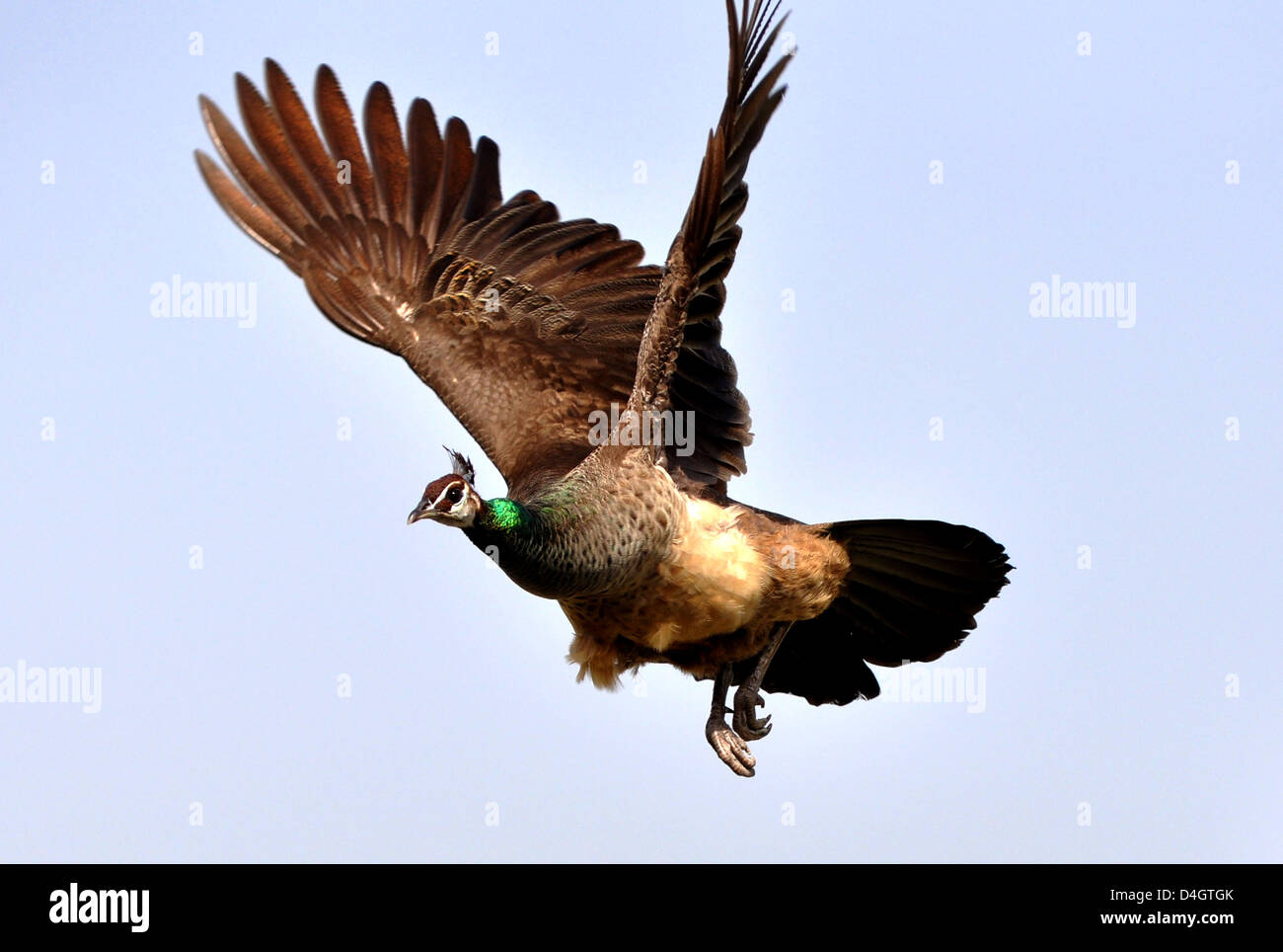 A Peahen, female peacock,or Indian peafowl (Pavo cristatus) at flight in Mathura, India. Stock Photo