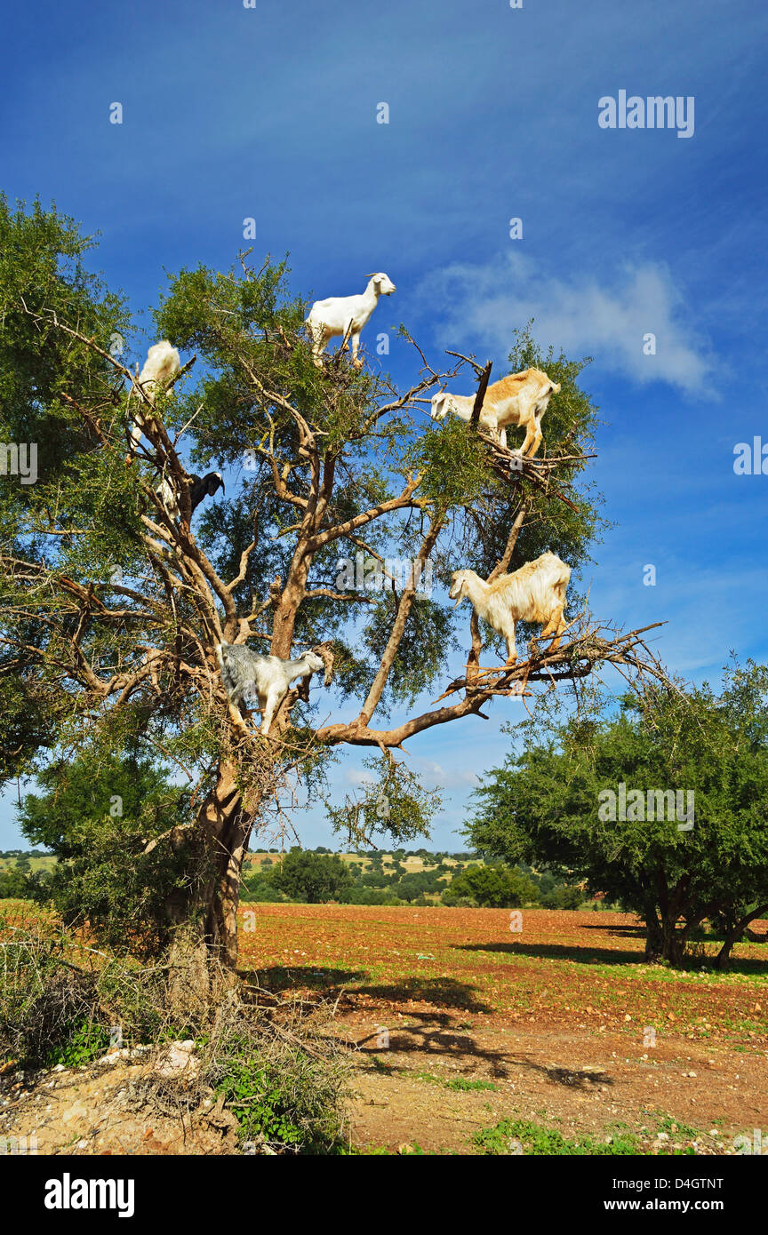 Goats on tree, Morocco, North Africa - Stock Image