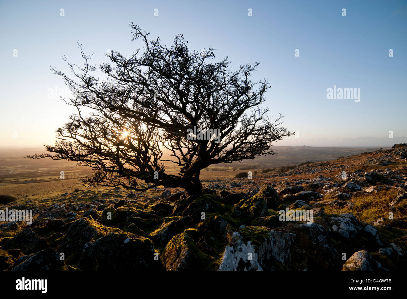 Stunted tree on Dartmoor, Devon, England, UK - Stock Image