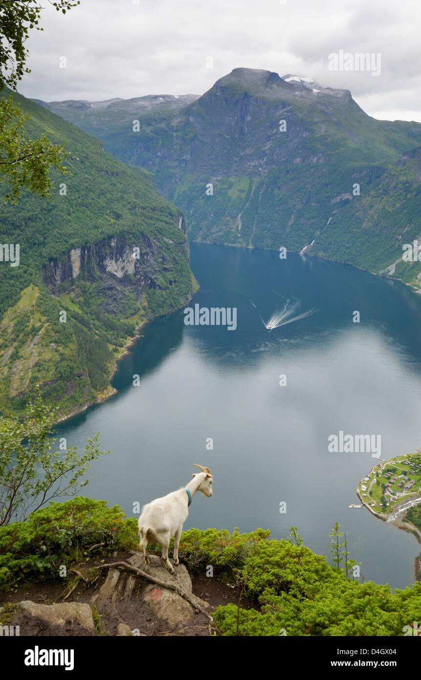 Goats overlooking Geirangerfjorden, near Geiranger, UNESCO World Heritage Site, More og Romsdal, Norway, Scandinavia - Stock Image