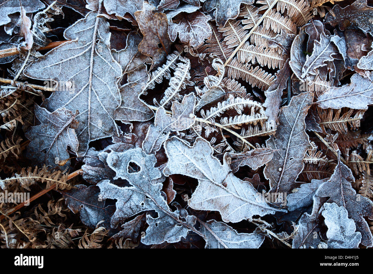 Frosty leaves including oak and bracken in Old Spring Wood near Summerbridge, North Yorkshire, England, UK - Stock Image