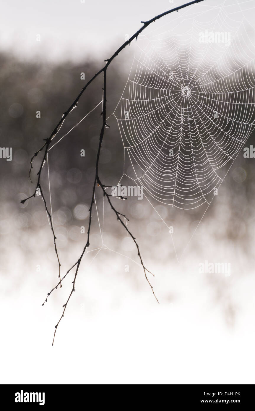 Close up of cobweb on twig in Finnsjön, Mölnlycke, Sweden, Europe - Stock Image