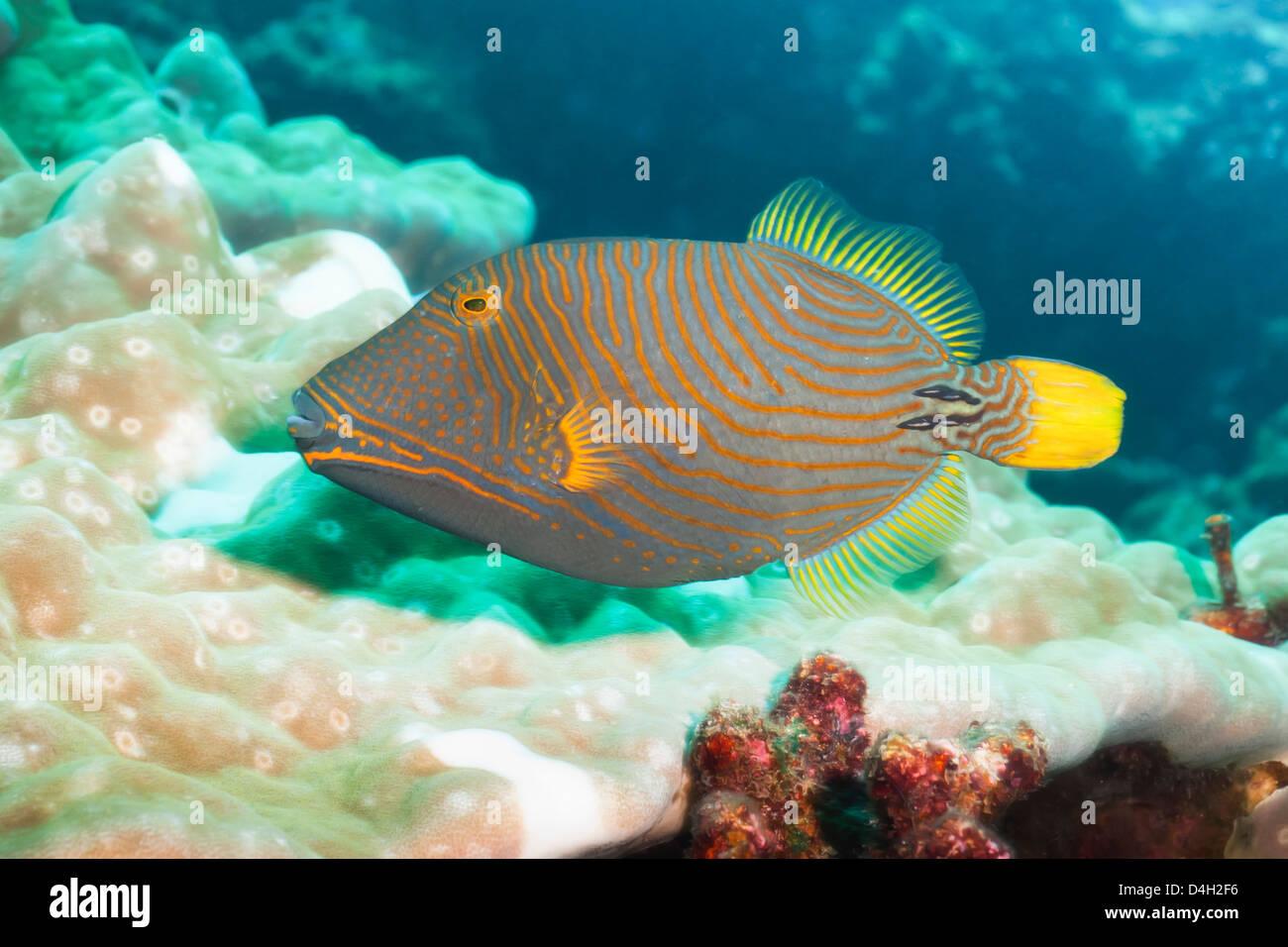 Orange Lined Triggerfish (Balistapus undulatus), Southern Thailand, Andaman Sea, Indian Ocean - Stock Image
