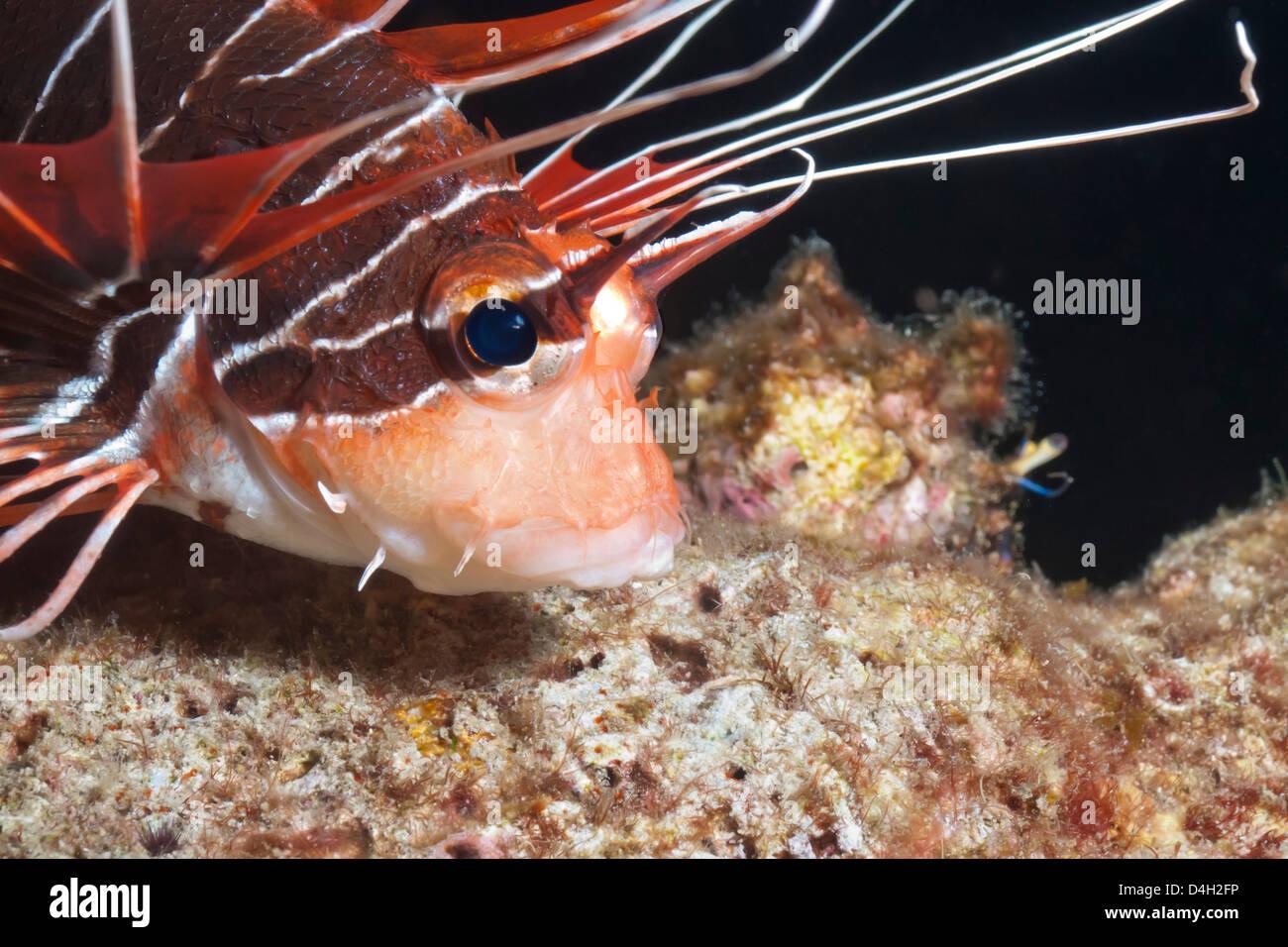 Scorpionfish (white-lined lionfish), (Pterois radiata), Southern Thailand, Andaman Sea, Indian Ocean - Stock Image