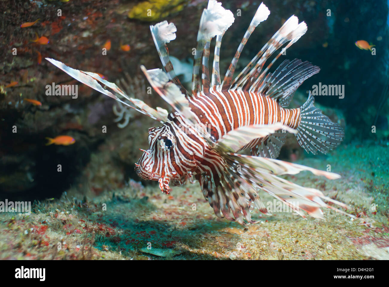 Scorpionfish (common lionfish) (Pterois miles), Southern Thailand, Andaman Sea, Indian Ocean - Stock Image