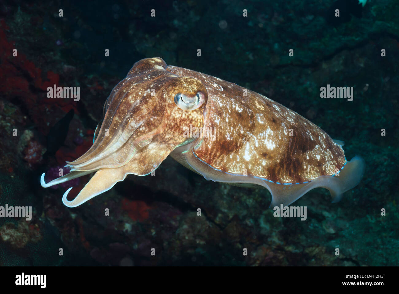 Broadclub cuttlefish (Sepia Latimanus), Southern Thailand, Andaman Sea, Indian Ocean, Southeast Asia - Stock Image