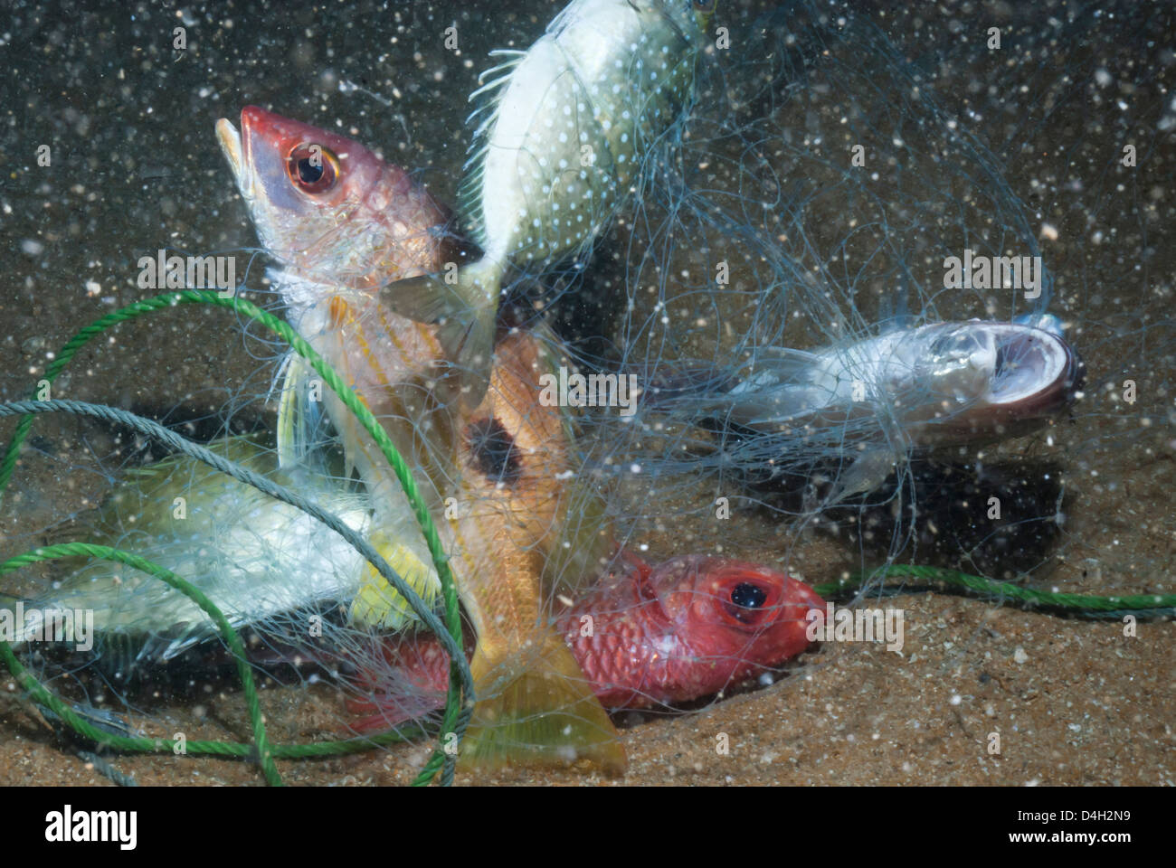 Striped snapper (Lutjanus) caught in fishing net, Southern Thailand, Andaman Sea, Indian Ocean, Southeast Asia - Stock Image